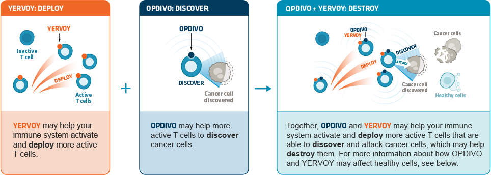 Together, OPDIVO® + YERVOY® may help your immune system activate and deploy more active T cells that are able to discover and attack cancer cells, which may help destroy them.