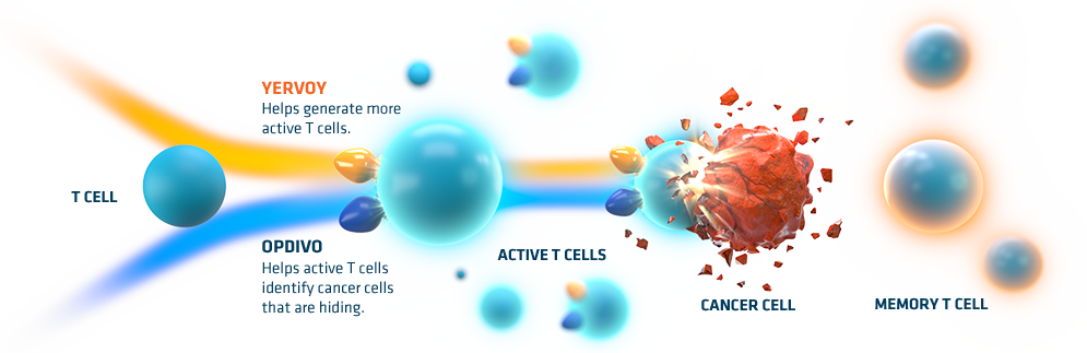 Together OPDIVO + YERVOY work to activate your T cells to seek and attack cancer cells disguised as healthy cells, and may help generate memory t cells to defend against threats in the future.